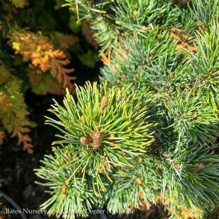 #3 Pinus parviflora 'Catherine Elizabeth'/Japanese White Pine Dwarf