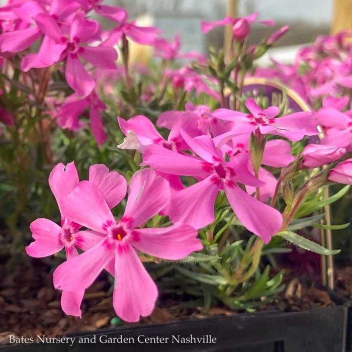 QP Phlox s Early Spring Light Pink/Creeping