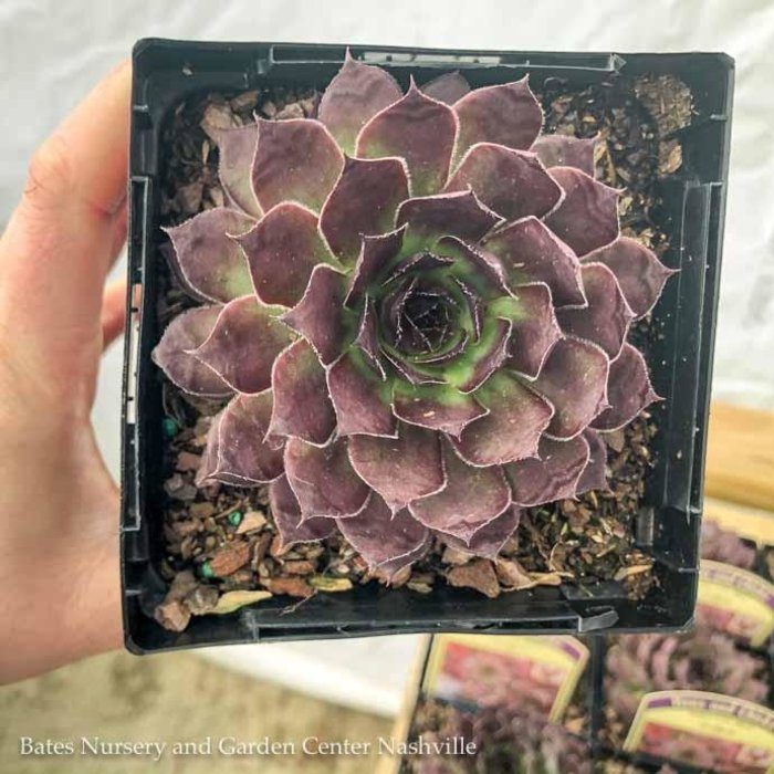 Succulent QP Sempervivum Black/Hens and Chicks