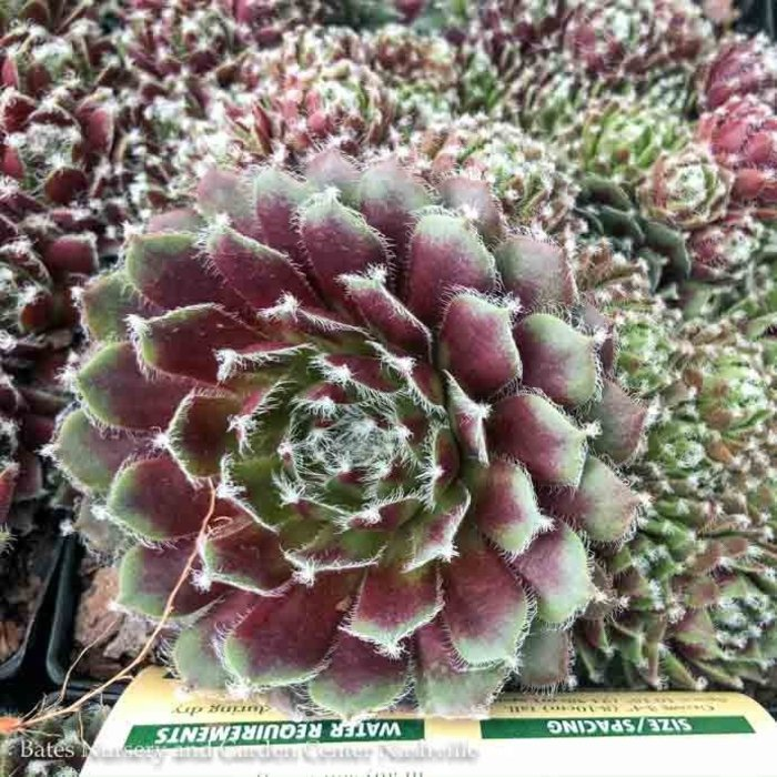 Succulent QP Sempervivum Jade Rose/Hens and Chicks