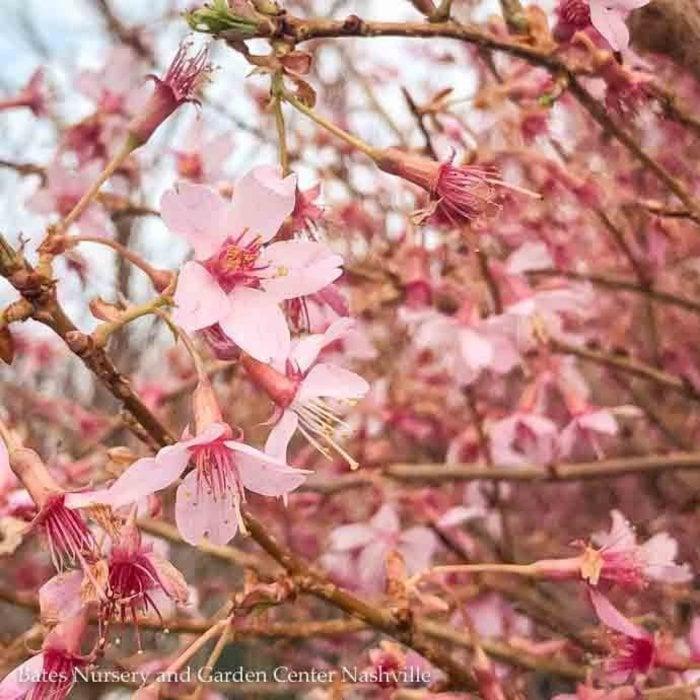 #5 Prunus x Okame/Pink Flowering Cherry