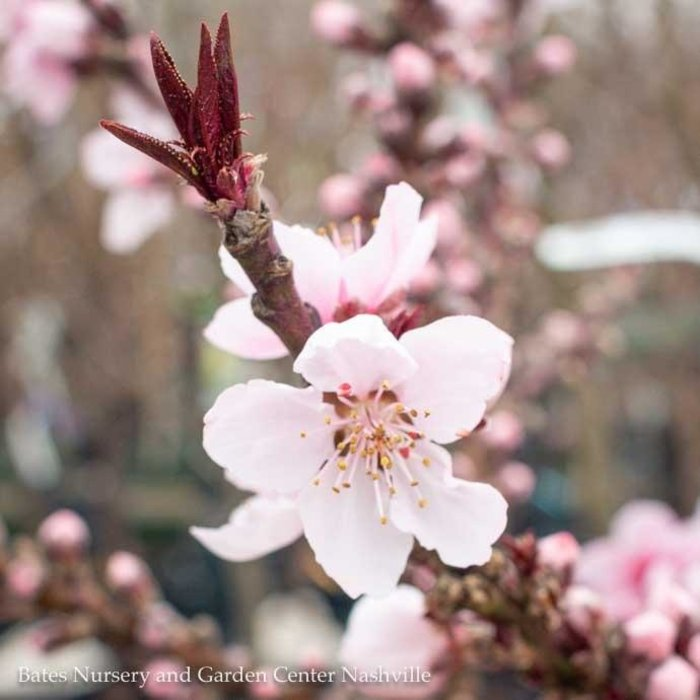 #3 PT Prunus persica 'Bonfire'/Dwarf Patio Peach