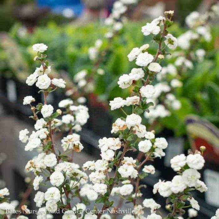 #3 Spiraea prunifolia/Bridal Wreath