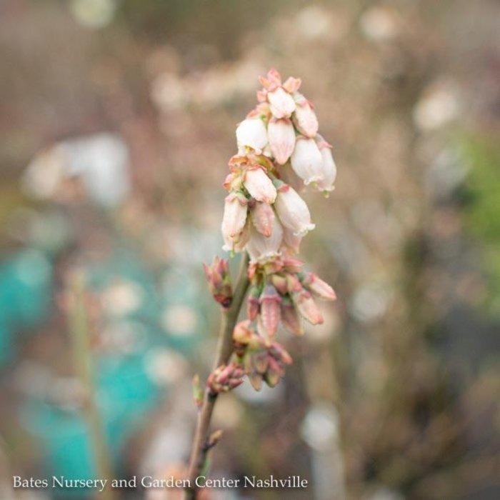 Edible #3 Vaccinium ashei Brightwell/Rabbiteye Blueberry