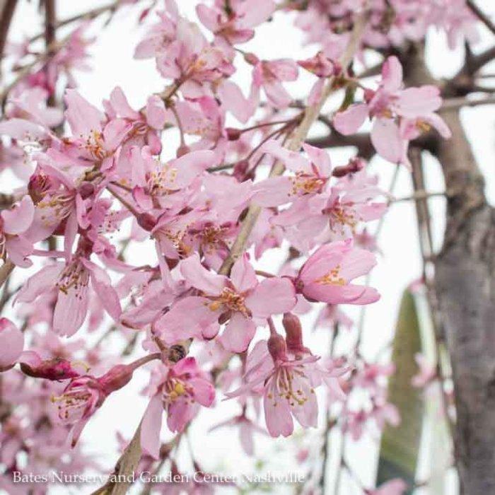 #5 Prunus Pendula Pleno-rosea/Double Weeping Rosebud Pink Cherry