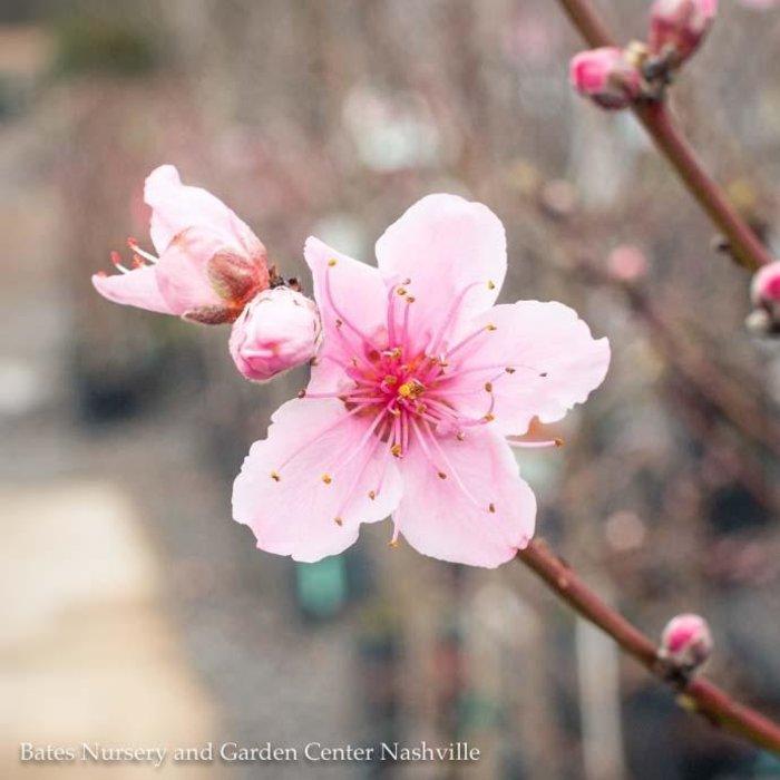 Edible #5 Prunus Elberta/Peach Semi-dwarf Self-fertile