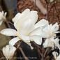 #10 Magnolia stellata 'Royal Star'/Deciduous White