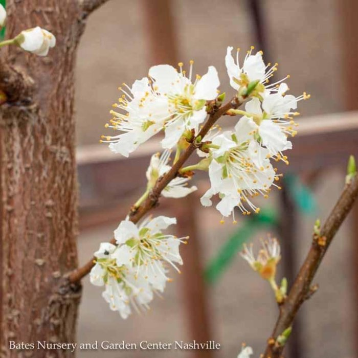 Edible #5 Prunus Santa Rosa/Plum Semi-dwarf Self-fertile