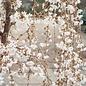 #7 Prunus x 'Snow Fountain'/White Weeping Cherry
