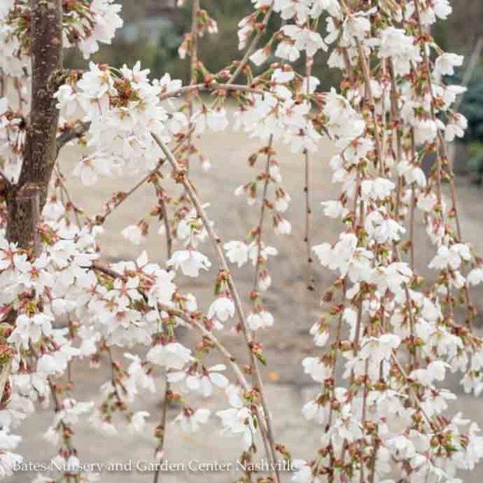 #5 Prunus x Snow Fountain/ White Weeping Cherry