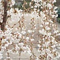 #15 Prunus x Snow Fountain/White Weeping Cherry Short Graft