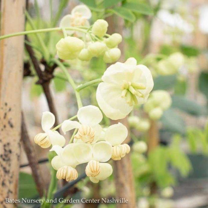 #1 Akebia quinata 'Shirobana'/White Flowered Chocolate Vine