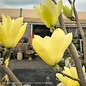 #15 SINGLE  Magnolia x 'Butterflies'/ Yellow Deciduous