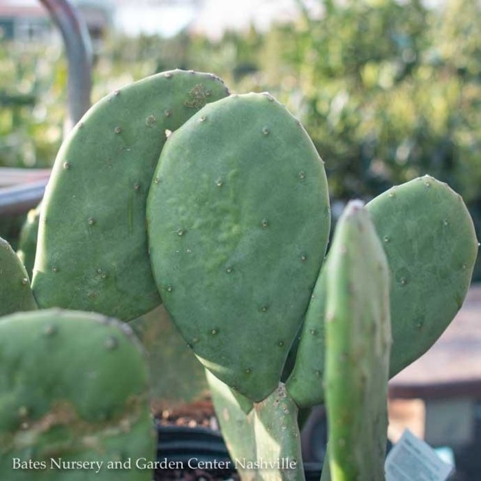 #2 Opuntia Basilaris Baby Rita/Prickly Pear Cactus