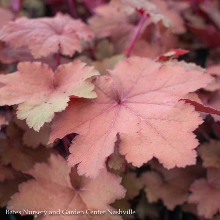 #1 Heuchera Magma/Red Coral Bells