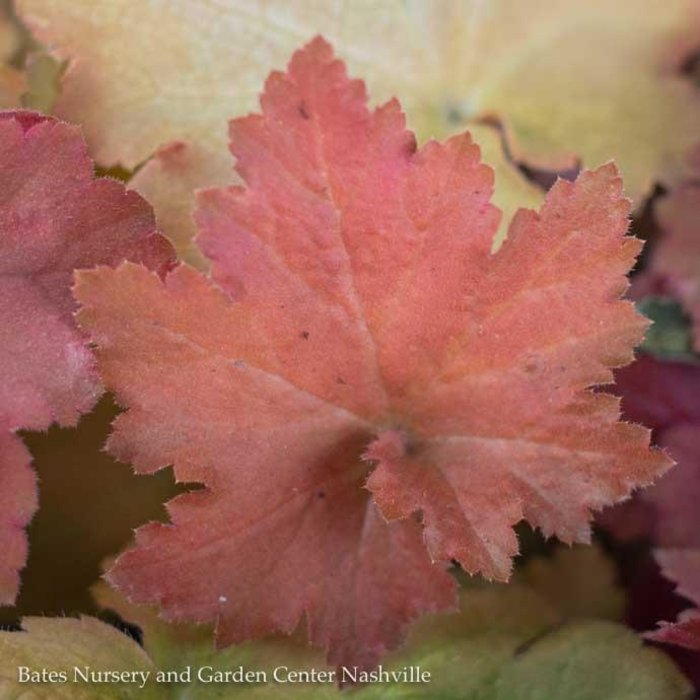 QP Heuchera Orange Dream/Coral Bells