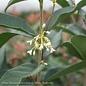 #3 Osmanthus fragrans/Tea Olive Fragrant NO WARRANTY