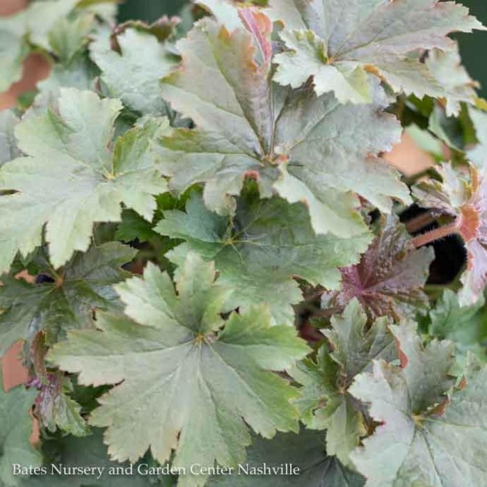 #1 Heuchera Bronze Wave/Coral Bells