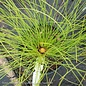 #3 Pinus palustris/Longleaf Pine NO WARRANTY