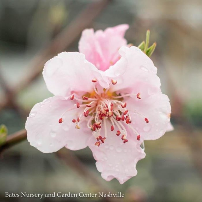 Edible #5 Prunus Fantasia/Nectarine