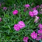 QP Dianthus Mountain Frost Pink Pompom
