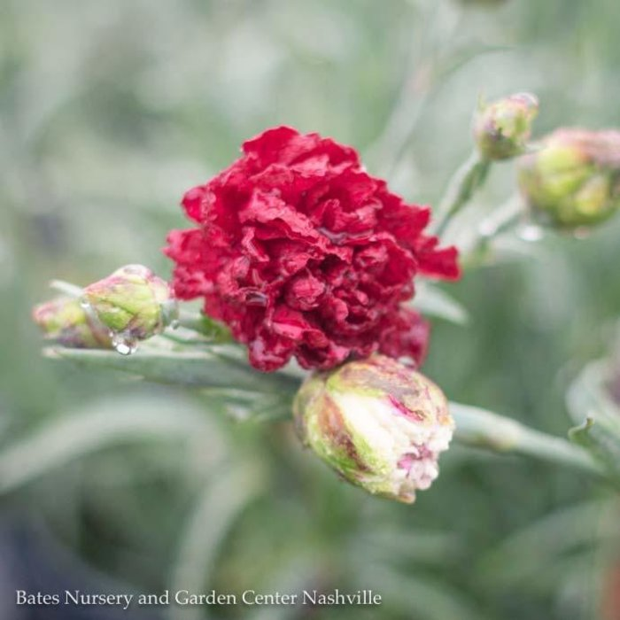 #1 Dianthus Scent First Passion/Red