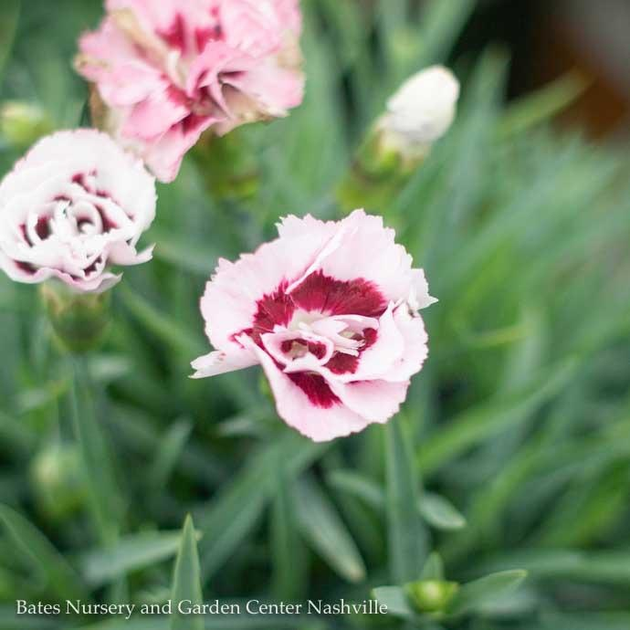 #1 Dianthus Raspberry Surprise