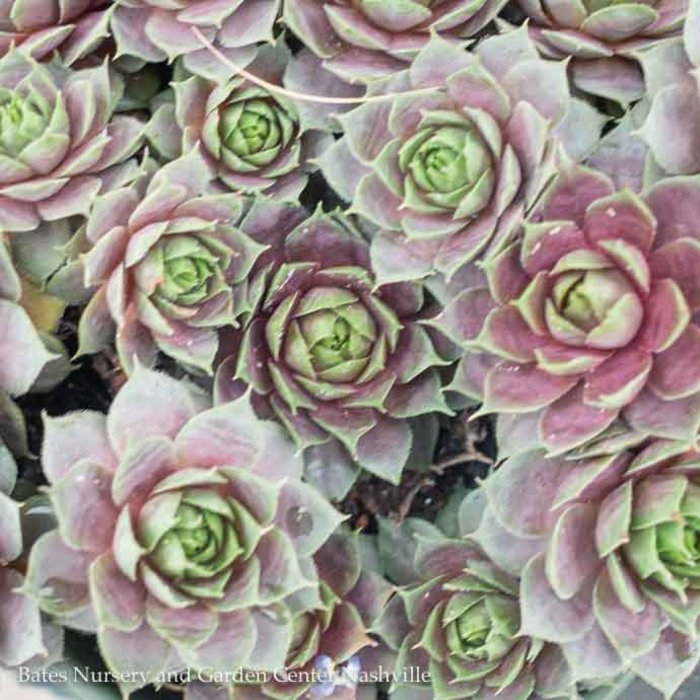 Succulent QP Sempervivum Krebs Desert Rose / Hens and Chicks