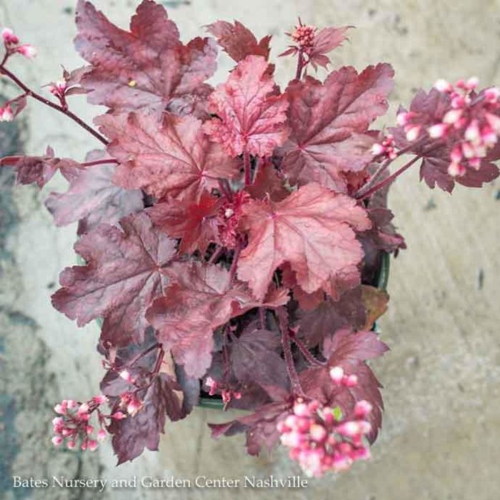 #1 Heuchera Fire Chief/Coral Bells