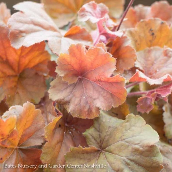 #1 Heuchera Northern Exposure Amber/Coral Bells