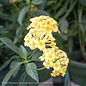 Tropical #3 Patio Tree Lantana Chapel Hill NO WARRANTY