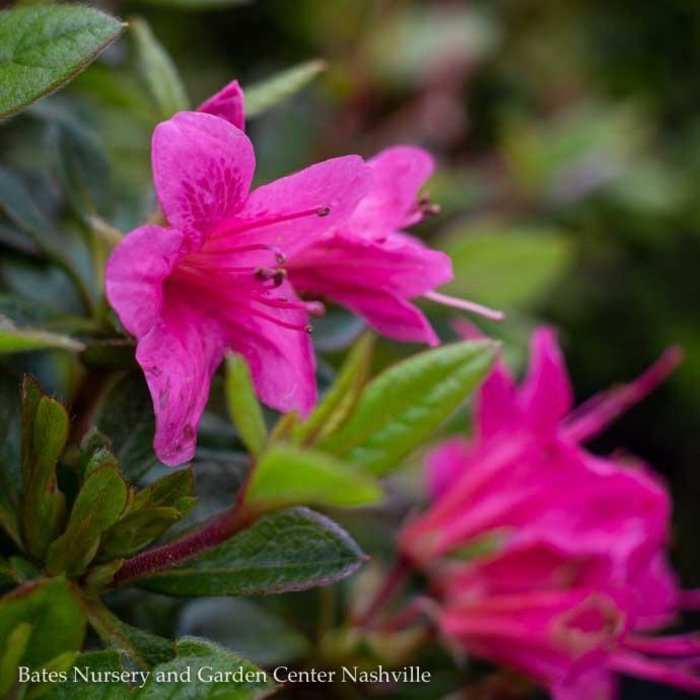 #3 Azalea Encore Autumn Cheer/Repeat/ pink, darker pink throat