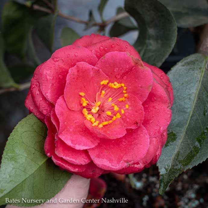 #3 Camellia j Springs Promise/Rose-Red No Warranty