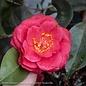 #7 Camellia j Springs Promise/Rose-red No Warranty