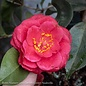 #5 Camellia j Springs Promise/Rose-Red No Warranty