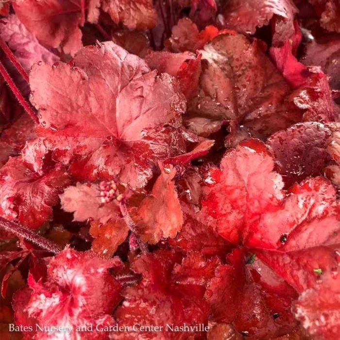 #1 Heuchera Forever Red/Coral Bells
