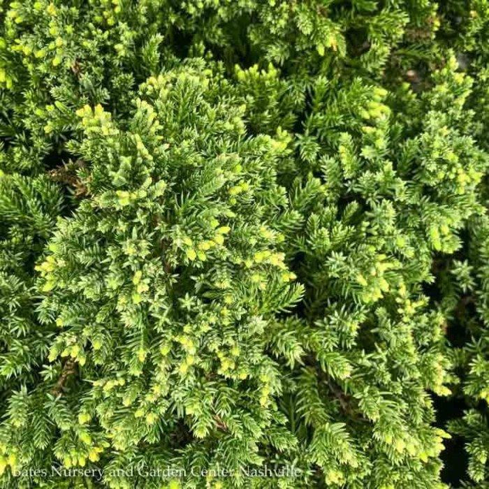 #1 Juniperus pro Nana/Dwarf Japanese Garden Juniper