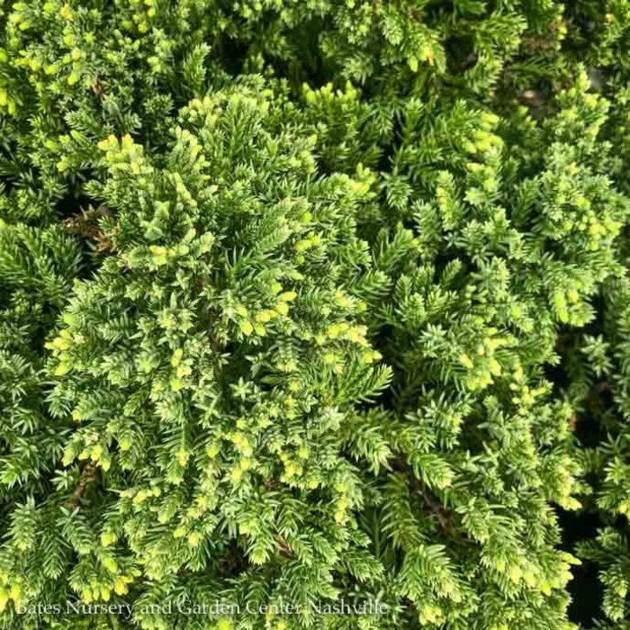 #5 Juniperus pro Nana/Dwarf Japanese Garden Juniper