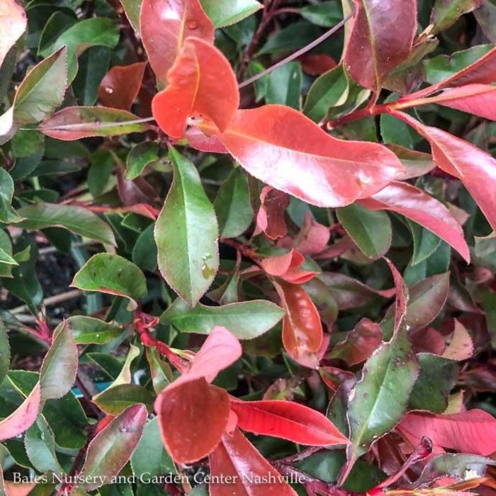 #2 Photinia 'Dynamo Red'/Red Tip