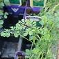 Edible 4 Inch Pot Herb Rue