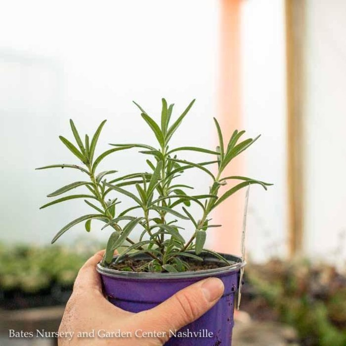 Edible 4 Inch Pot Herb Rosemary