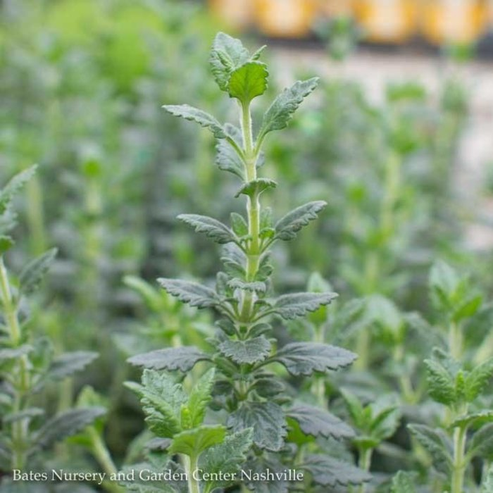 Edible 4 Inch Pot Herb Germander