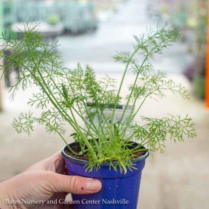 Edible 4 Inch Pot Herb Fennel