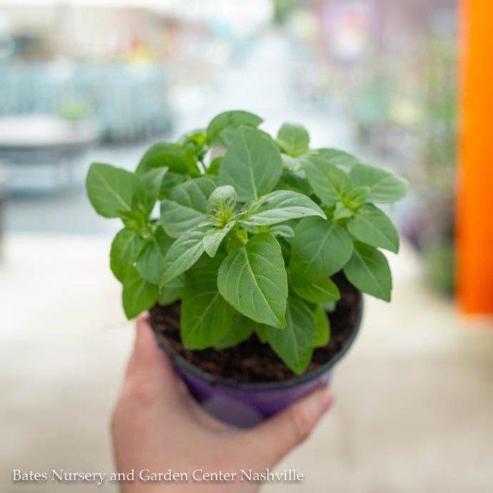 Edible 4 Inch Pot Herb Basil Spicy Globe