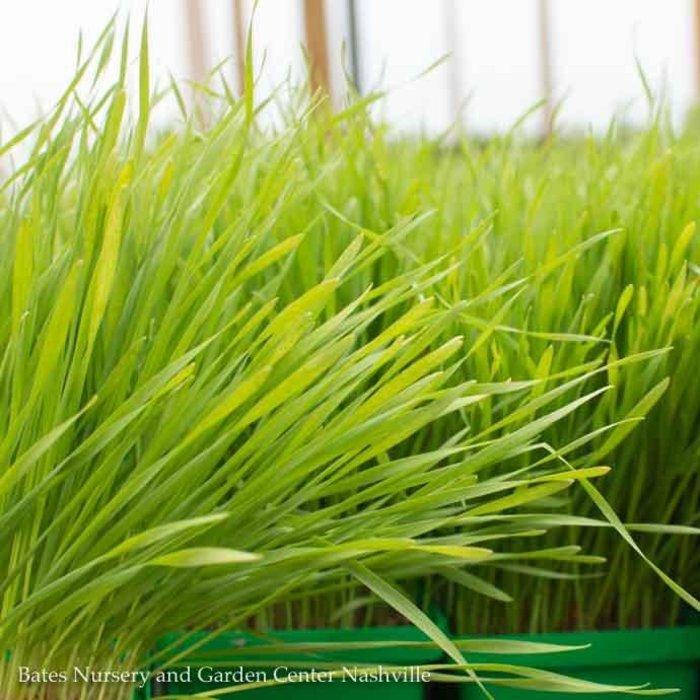 Edible 4 Inch Pot Herb Cat Grass