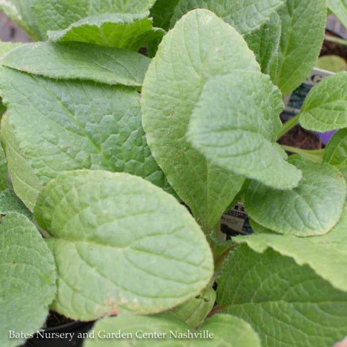Edible 4 Inch Pot Herb Borage