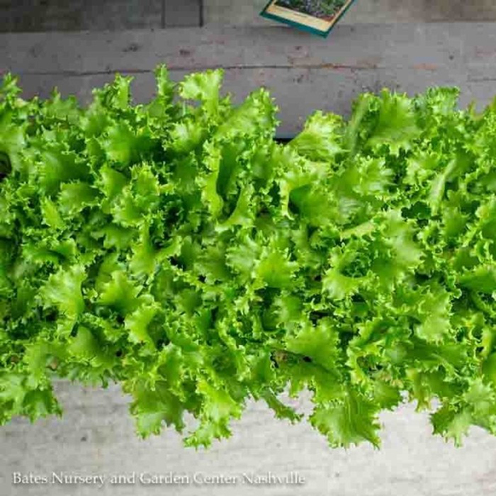 Edible Flat (12 4-packs) Vegetable Lettuce-Leaf