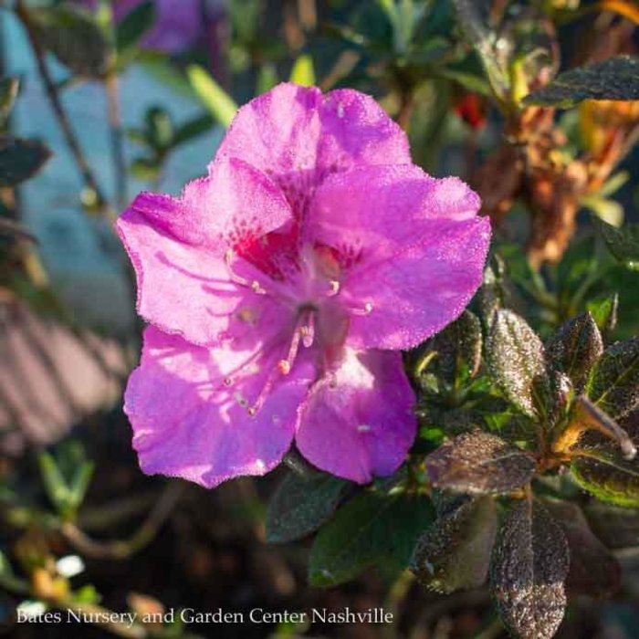 #3 Azalea Encore Autumn Royalty/Repeat/purple