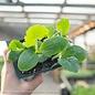 Edible 4-PACK Vegetable Squash (Zucchini)