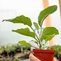 Edible 4inch Pot Vegetable Eggplant